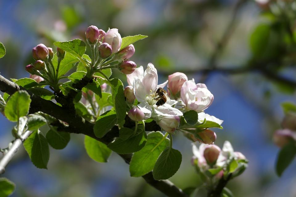 Biene bestäubt Apfelblüten